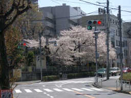 恵比寿南の桜